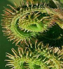 Raupenkraut Samen / exotische Pflanze für die Wohnung das Fenster Bad den Balkon