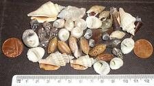40 Marine Hermit Crab Shells  LOT40a4