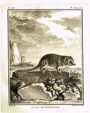 "De Seve's Animals (Buffon) - ""LE RAT DE MADAGASCAR"" - Copper Engraving - 1760"