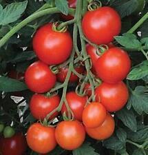 Mountain Magic Tomato Seeds