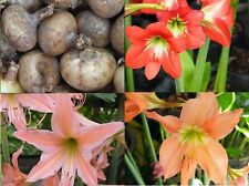 MIXED HIPPEASTRUM EQUESTRE Red/Pink/Orange flower 3 Bulbs + FreeDocument