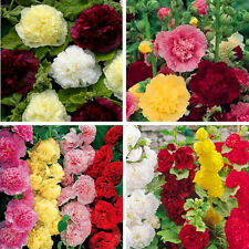 100Pc Hollyhock Summer Carnival Mixed color Chaters Plant Flower Seeds Perennial