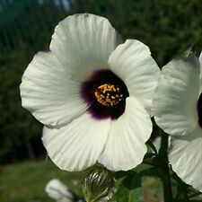 * HIBISCUS  AMETHYST * WHITE/PURPLE PERENNIAL!!   10 SEEDS
