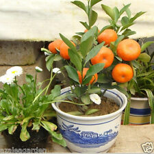 Rare Imported Mandarin Citrus Orange Bonsai Tree Seeds Plants Home Garden 10 pcs