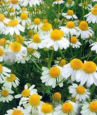 Perennial Herb seed - Chamomile 100 seeds camomile ground apple whig plant spice