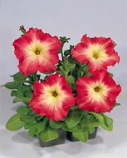 Petunia Seeds Candypops Sunset Pelleted Petunia 50 Pelleted Seeds