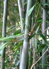Chinese Blue Cane bamboo live plant, Bashania fargesia, Wind Break bamboo