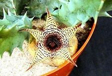 1 cutting rooted stapelia huernia Stapeloides live succulent plant