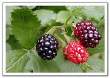 Soft Fruit Plants- Blackberry Bush 'Merton Thornless' - Well Established Plant
