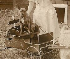c1920 BULLY DOG in LONGHORN GOAT CART~LADY with CAT~VINTAGE REAL PHOTO POSTCARD