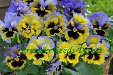 PANSY WINTER FLOWERING - FRIZZLE SIZZLE F1 - YELLOW BLUE SWIRL - 25 SEEDS
