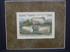 Sheep c1890 Matted Ready To Frame S2 #08 Cotswold Sheep
