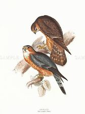 PAINTING BIRDS GOULD MERLIN PAIR ART PRINT POSTER LAH559A