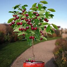 FOUR IN ONE CHERRY TREE *16-24 INCH* FRUIT COCKTAIL FLOWERING TREE PLANTS TREES