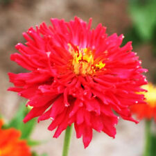 Youth-And-Old-Age Seed 50 Seeds Red Chrysanthemum Zinnia Elegans Flower Hot A232
