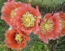 Winter Hardy Prickly Pear Opuntia Cactus HEAVY REDDISH ORANGE SPINED!!!