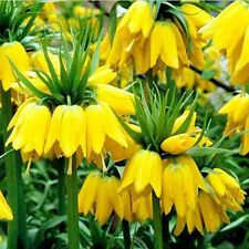 50pcs Yellow Imperial Crown Seeds Fritillaria imperialis Lutea Seeds Easy Grow