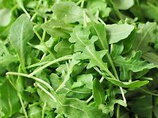 500 Graines de Roquette BIO seeds plante salade légumes jardin potager ancien