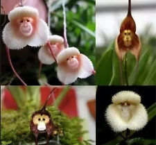 Rare 10PCS Seeds Dracula Simia Monkey Face Bonsai Orchid Flower Seeds New