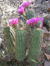 Echinocereus engelmannii boyce thompsonii HARDY Seeds!
