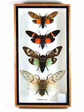4 Cicada Real Butterfly Insect Bug Taxidermy Display in Framed Box Gift gpasy #5