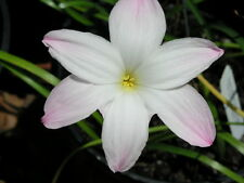 Rain Lily, Zephyranthes Labuffarosea Big Dude, 2 bulbs, NEW, habranthus