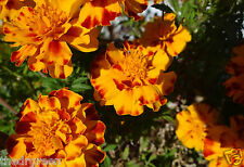 50 Marigold Flower Seeds, French Dwarf Double Mixed Color, Orange Yellow Bronze