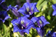 40 Samen Gentiana acaulis - Blauer Alpen-Enzian