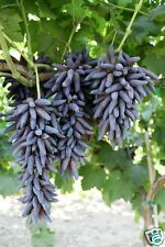 Witch Finger Grape Very Rare Exotic Seeds ( Imported ) finger grape -  10 Seeds