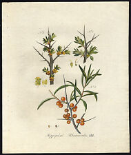 Antique Print-HIPPOPHAE RHAMNOIDES-COMMON SEA-BUCKTHORN-Sepp-Flora Batava-1800
