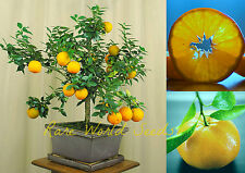 SUPER DWARF! Citrus tree 'Myrtle Leaf Orange' GROWS  to 2 feet tall! SEEDS.