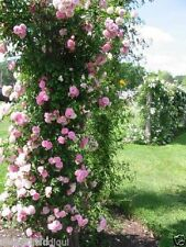 """Live  Pink climpbing Rose 6 """" Grafted Plant ( Highly Fragnent), S-1094"""