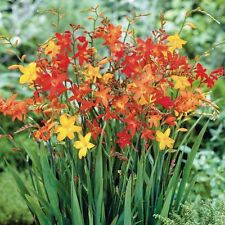 New Pack 20 Crocosmia Mixed (Montbretia) Summer Bulbs WPC Prins Quality Corms