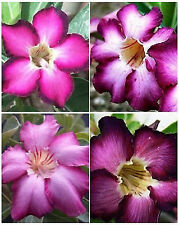 Adenium PURPLE &  VIOLET VARIETY MIX desert rose bonsai caudex seed 25 seeds V&P