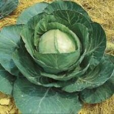 Heirloom Non-GMO LATE FLAT DUTCH Cabbage❋3000 SEEDS❋Largest❋Great Keeper