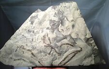 Silurian fossil plant plate - Bertie fm, New York