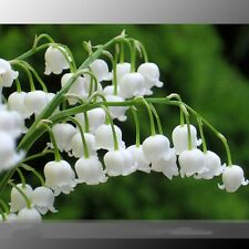 Heirloom White Lily of the Valley Convallaria majalis Perennial Flower Seeds
