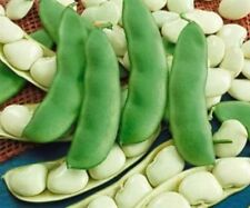 Giant Bush Lima Beans! GREAT TASTING AND EASY TO GROW! COMBINED S/H!