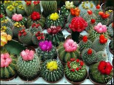 Rare Imported Mixed Cactus seeds  Cactus mix indoor Flower Seeds 30 seeds