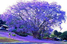 20 BLUE JACARANDA TREE SEED (Fern Tree / Brazilian Rose Wood / Green Ebony)