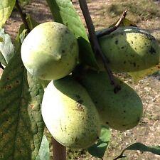 Asimina triloba 'mango', asiminier, fruitier en sac de 2 litres, 60/80 cm