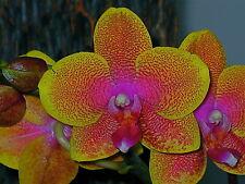 Phalaenopsis Eternal Sunrise Dark 2 Pflanzen blühstark Orchidee Orchideen