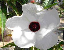 Native Rosella Seed Hibiscus heterophylla Edible Jam Evergreen Drought Tolerant