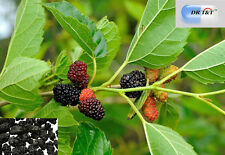 DR T&T Sang Shen Mulberry Fruit  100g dry herb
