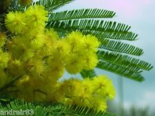 Seeds of Acacia Dealbata or Mimosa 5 pcs Acacia Dealbata