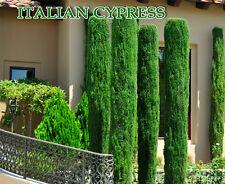 Ornamental Italian Cypress Tree Cupressus Sempervirens 20+ Fresh Seeds by Italy