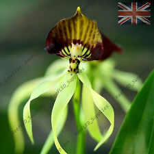 RARE Octopus Orchid, Encyclia Flower - 10 Viable Seeds