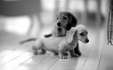 Framed Print - Sausage Dog Puppies Black & White (Picture Poster Puppy Animal)
