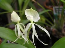 Encyclia  Cochleata alba, orchids species.