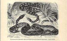 Stampa antica SERPENTI Rinechis scalaris e colubro sardo 1891 Old antique print